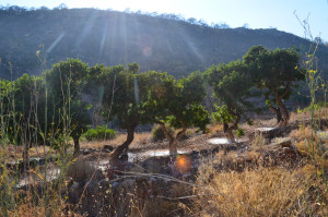 Plantación de almáciga al sol. Agosto, 2015